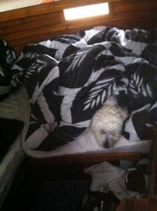 Dovne hund! Hvorfor stå op når det regner og man ligger lunt og godt under fars dyne